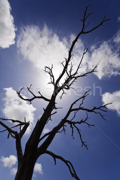 Burnt Bare Tree Branches Silhouettes Stock photo © eldadcarin