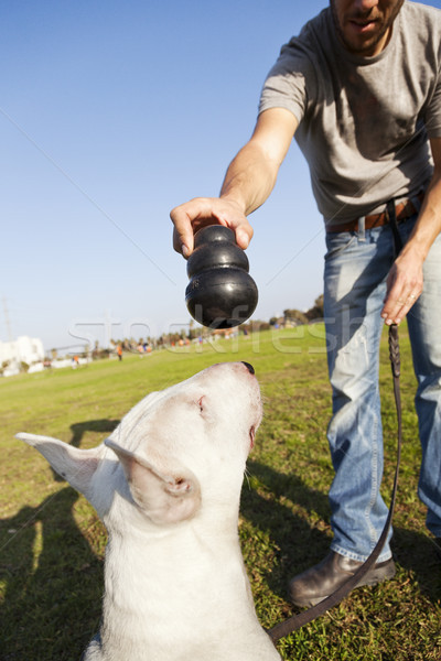 Bull Terrier About to Chew on Toy Stock photo © eldadcarin