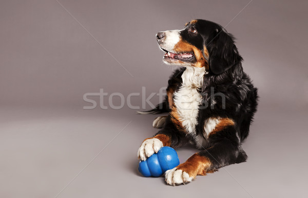 Bernard Sennenhund with Chew Toy at Studio Stock photo © eldadcarin