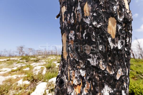 Burnt Tree Trunk in the Wild Stock photo © eldadcarin