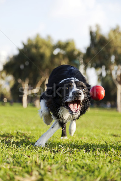 Border collie chien balle jouet parc rouge Photo stock © eldadcarin