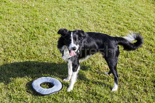 Border Collie Dog with Pet Toy on Lawn Stock photo © eldadcarin