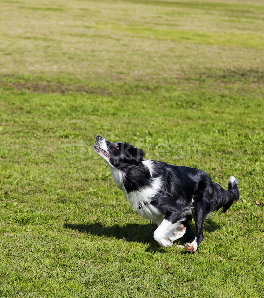 Border Collie Dog Jumping for a Toy in Park Stock photo © eldadcarin