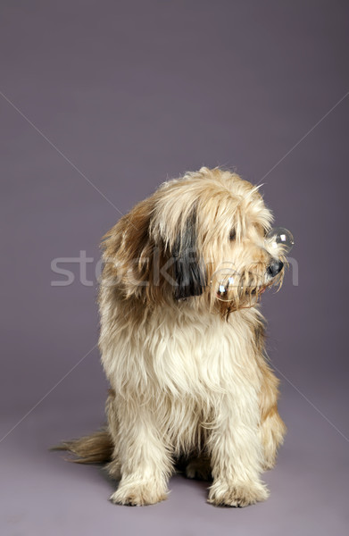 Mixed-Race Dog with Bubbles in Studio Stock photo © eldadcarin