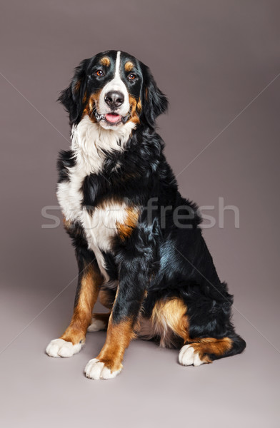 Stock photo: Bernard Sennenhund Studio portrait