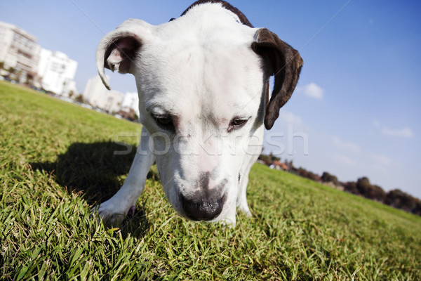 Tilted wide angle view of a Pitbull looking down on the grass at an urban park. Stock photo © eldadcarin