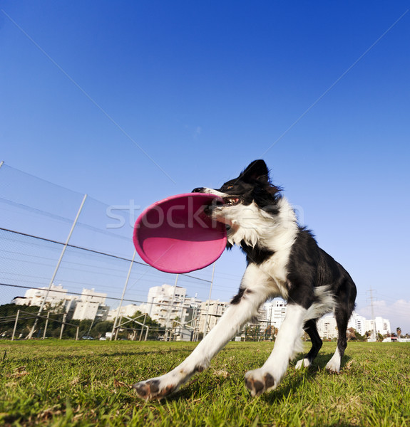 Border collie cane giocattolo parco ampia Foto d'archivio © eldadcarin