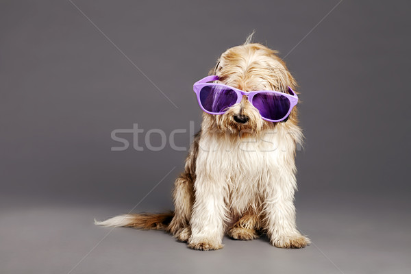 Mixed-Race Dog with Purple Glasses in Studio Stock photo © eldadcarin