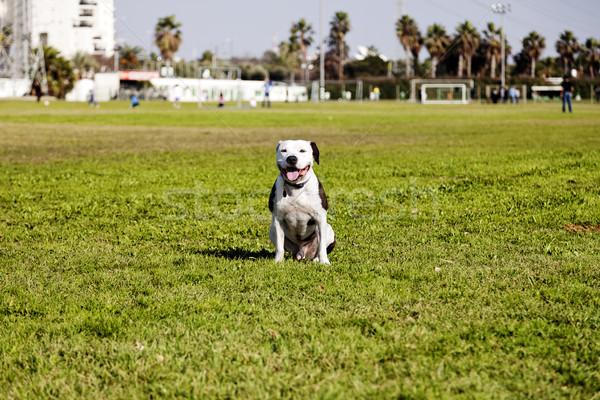 Boldog pitbull park portré barna fehér Stock fotó © eldadcarin