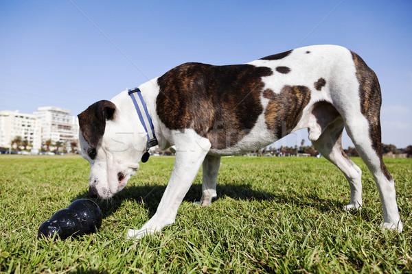 Pitbull kutya játék park néz fekete Stock fotó © eldadcarin