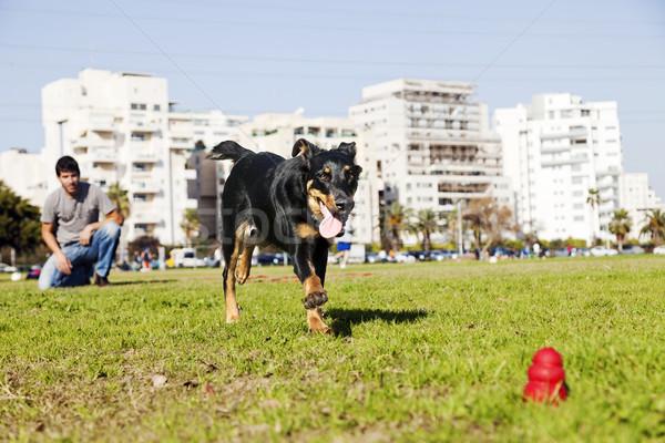 Stock photo: Beauceron / Australian Shepherd Running after Dog Chew Toy