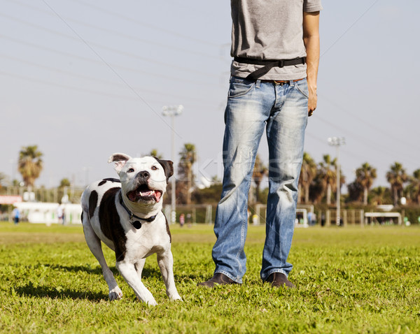 Running Pitbull with Dog Owner at the Park Stock photo © eldadcarin