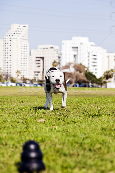 Stock photo: Pitbull Running to Dog Toy on Park Grass