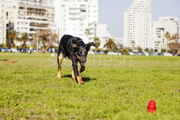 Beauceron / Australian Shepherd Running after Dog Chew Toy Stock photo © eldadcarin