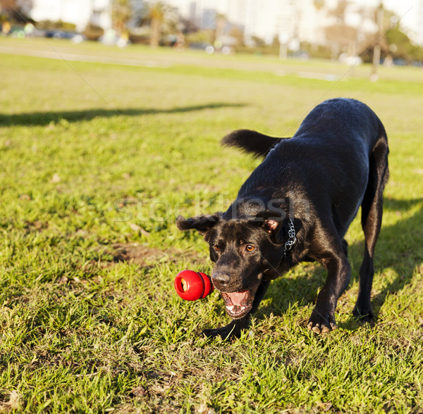 Labrador Fetching Dog Chew Toy at Park Stock photo © eldadcarin