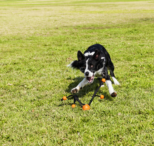 Border Collie Fetching Dog Toy at Park Stock photo © eldadcarin