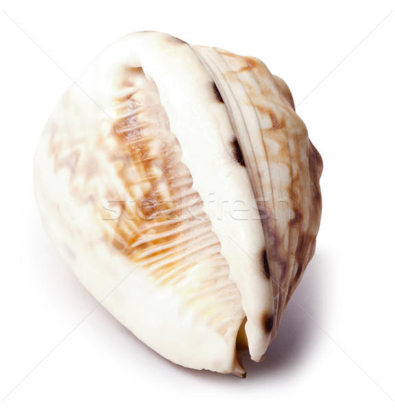 Conch Shell - Backside Stock photo © eldadcarin