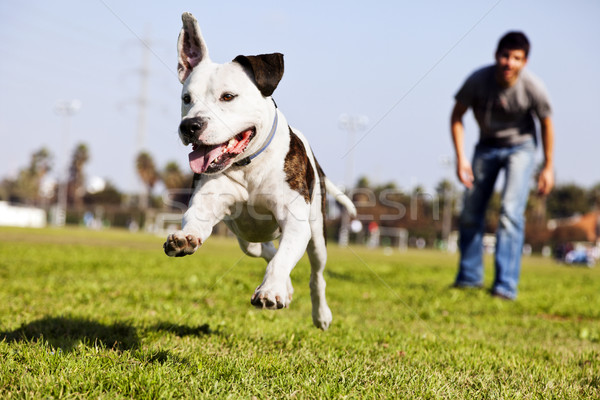 Mid-Air Running Pitbull Dog Stock photo © eldadcarin
