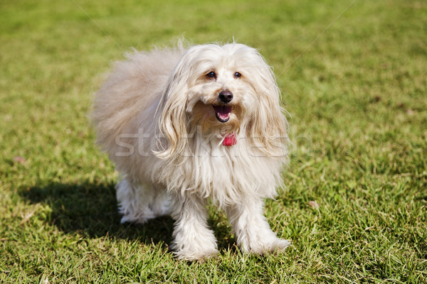 Toy Poodle Dog Portrait in the Park Stock photo © eldadcarin