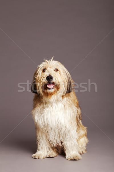 Cão estúdio retrato doce bonitinho marrom Foto stock © eldadcarin