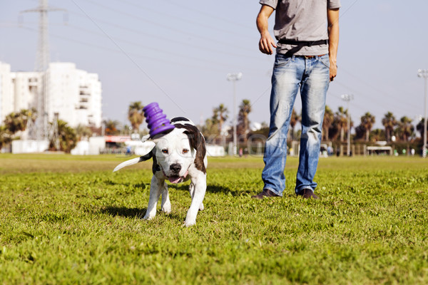A Pitbull dog running after its chew toy with its owner standing close by. Stock photo © eldadcarin