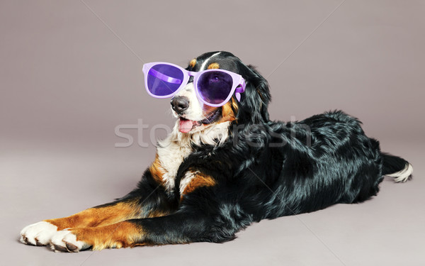 Bernard Sennenhund with Funky Glasses at Studio Stock photo © eldadcarin