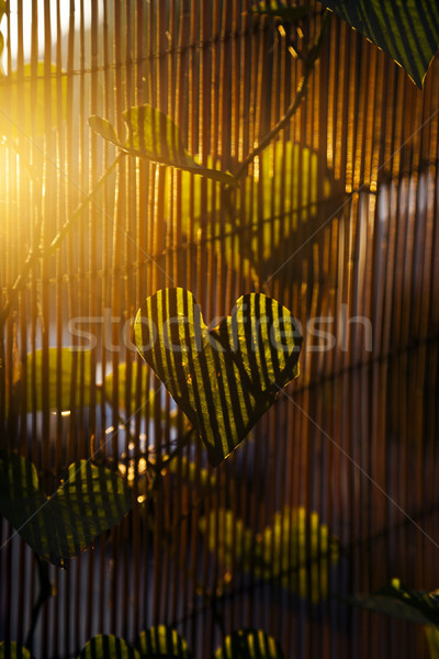 Afternoon Climber Leaf Stock photo © eldadcarin