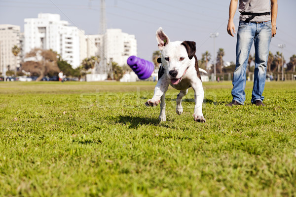 Stock photo: Pitbull Running after Dog Chew Toy