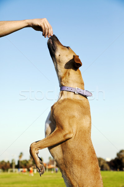 Dog Reaching for a Treat at the Park Stock photo © eldadcarin