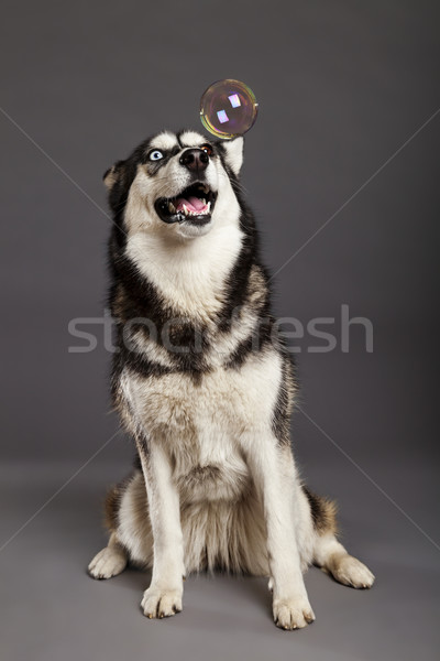 Husky studio portrait bulle Homme Photo stock © eldadcarin