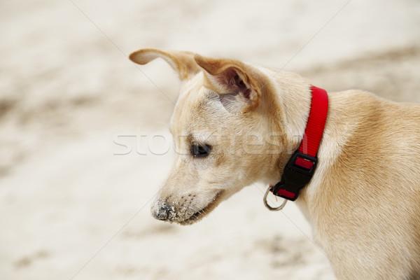 Cachorro perfil retrato meses edad femenino Foto stock © eldadcarin