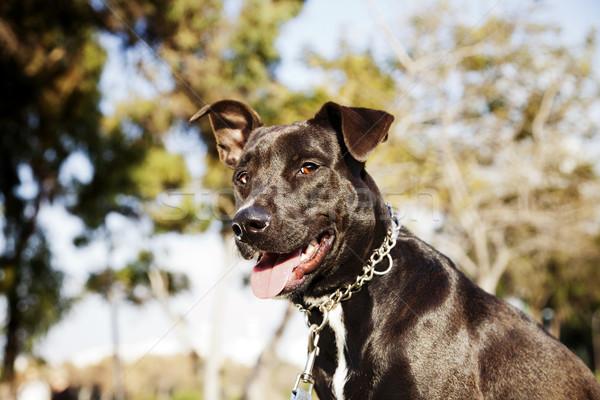 Vegyes pitbull kutya portré park mosolyog Stock fotó © eldadcarin