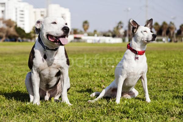 Kettő kutyák park pitbull vegyes helyes Stock fotó © eldadcarin