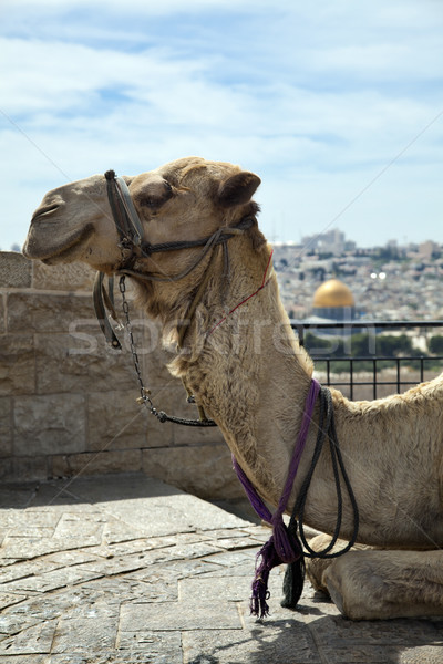 Camel & Dome of the Rock Stock photo © eldadcarin