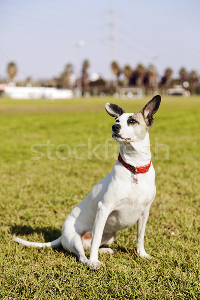Stock photo: Mixed Jack Russel Portrait in the Park