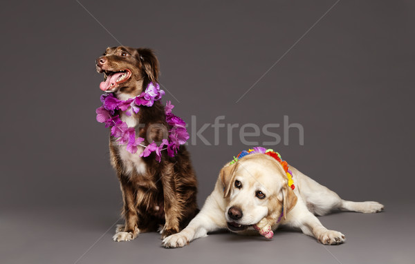 Studio portrait of a brown mixed-race dog and a white Labrador, both wearing Hawaiian style plastic  Stock photo © eldadcarin