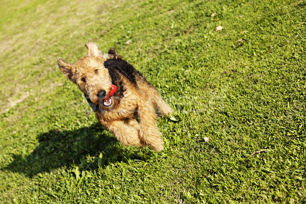Airdale Terrier Dog Running with Chew Toy at the Park Stock photo © eldadcarin