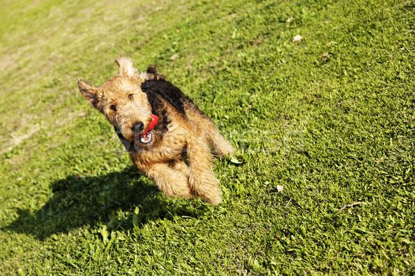 Terrier cão corrida brinquedo parque feminino Foto stock © eldadcarin
