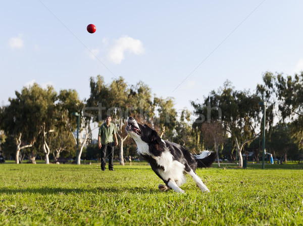 Stock photo: A Border Collie dog caught in the middle of running after a red rubber ball, on a sunny day at an ur