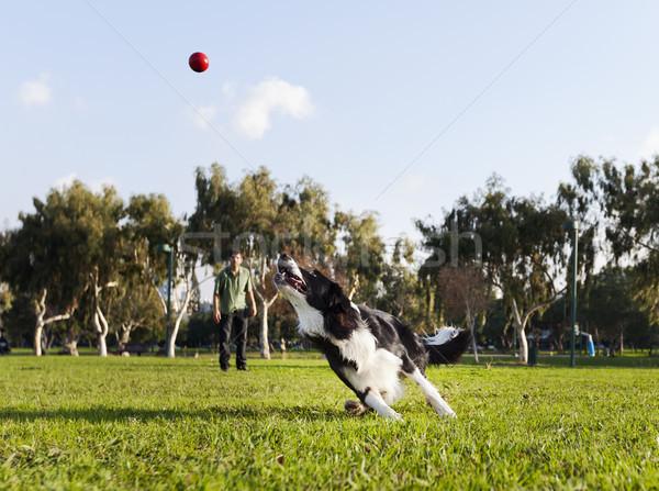 Foto stock: Border · collie · cão · corrida · vermelho · borracha · bola
