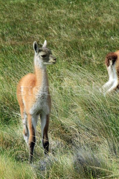 Lama çim ayakta bakıyor doğru atış Stok fotoğraf © eldadcarin
