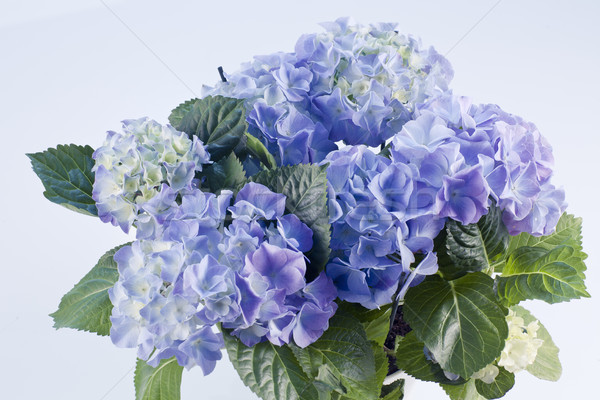 blue hortensia Stock photo © Elegies