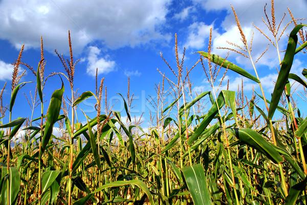 Stok fotoğraf: Mısır · alan · çiftlik · büyüyen · mavi · gökyüzü · bulutlar