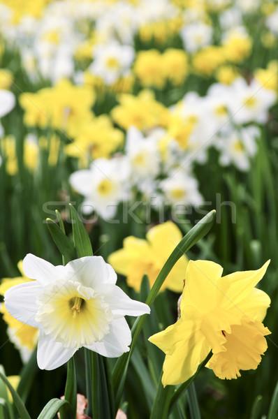 Narcisos campo primavera parque flores Foto stock © elenaphoto