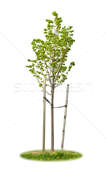 Isolated young linden tree Stock photo © elenaphoto