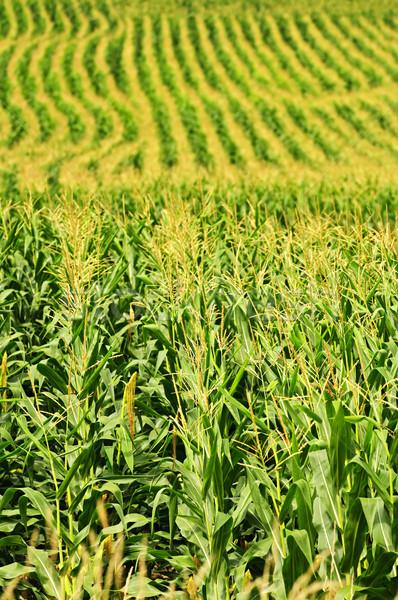 Сток-фото: кукурузы · области · сельскохозяйственный · пейзаж · небольшой · масштаба