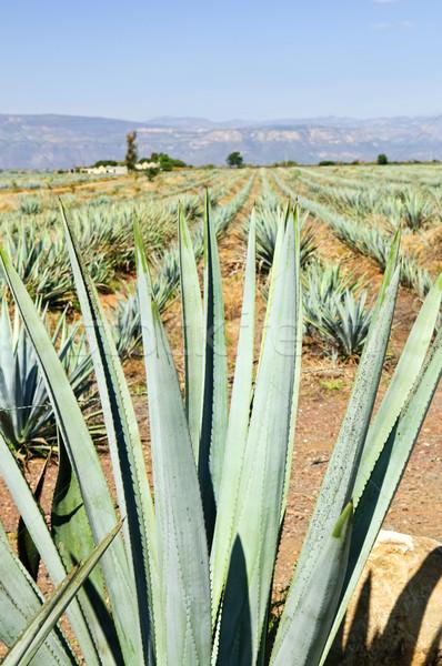 Agave cacto campo México tequila natureza Foto stock © elenaphoto