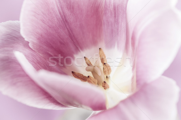Pink tulip macro Stock photo © elenaphoto