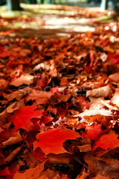 Fallen autumn leaves Stock photo © elenaphoto
