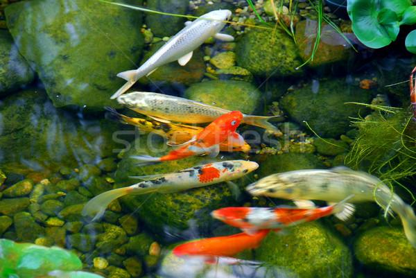 ニシキゴイ 魚 自然 石 池 水 ストックフォト © elenaphoto